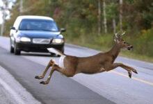 Photo of Vozači, oprez: Povećan broj nesreća zbog srneće divljači koja prelazi ceste